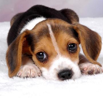 beagle enfermo