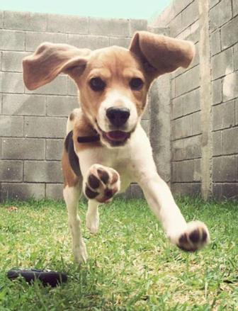 beagle saltando