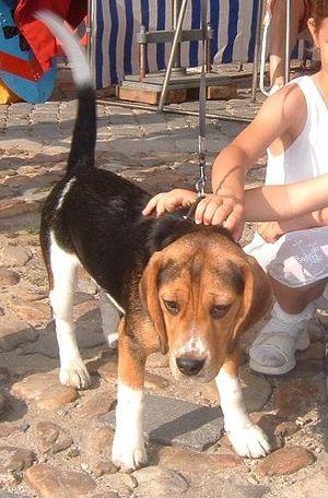 socializando un beagle