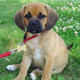 beagle pug