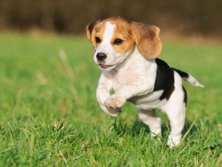 cachorro beagle corriendo