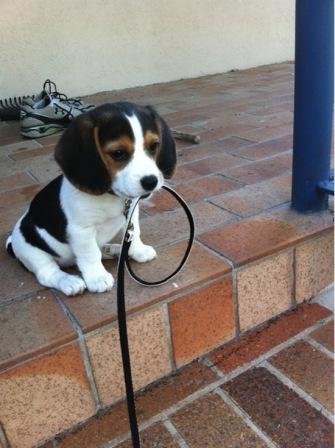 beagle con correa
