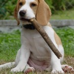 Beagle mascando