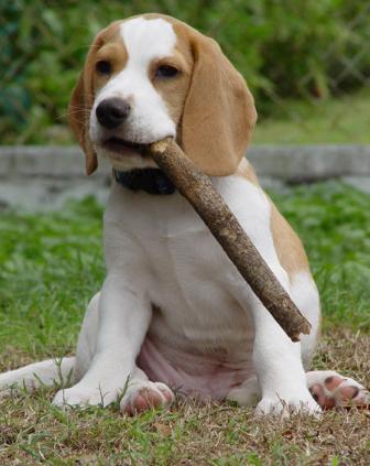 beagle masticando
