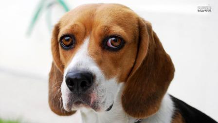 cara de beagle