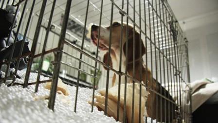 beagle jaula