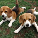 Dos beagles