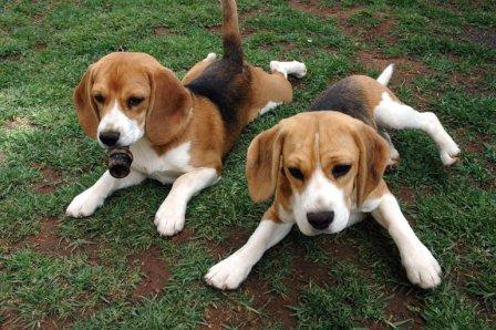 beagles jugando