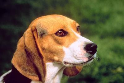 cabeza beagle