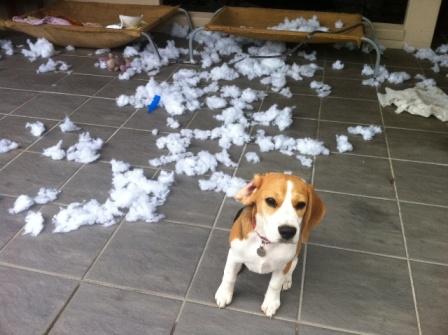 beagle desastre