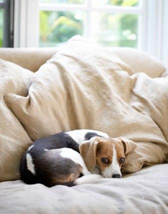 beagle en el sofa