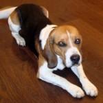 Beagle acostado